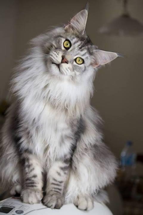Il est parmi les cinq races de chats les plus appréciées des Français, faisons aujourd'hui connaissance avec le Maine coon. Un chat aux origines incertaines, mais un chat très doux et affectueux.