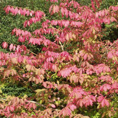 Fusain ailé - Euonymus alatus - Arbres et arbustes d'ornement - Pépinières Meylan Shop
