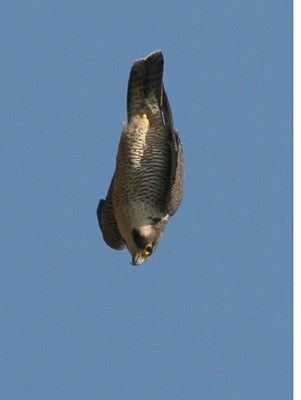 Peregrine falcons are renowned for its speed, reaching over 322 km/h (200 mph) during its characteristic hunting stoop (high speed dive), making it the fastest member of the animal kingdom.