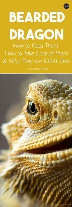 Bearded dragon is not a very common house pet, but they actually make for an IDEAL pet! Read more to find out how to take care of them and what they need. #beardeddragonpet