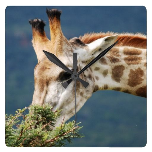 Giraffe eating some leaves in a KZN game reserve in South Africa.