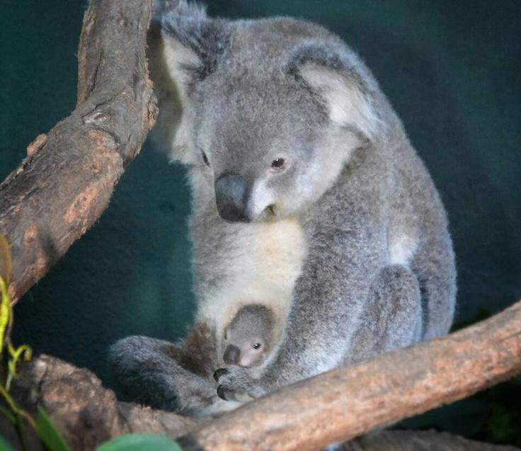 Image Gallery koala pouch