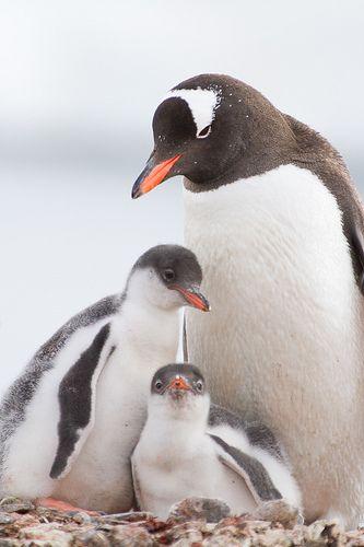Gentoo Penguin and chicks (Pygoscelis papua)