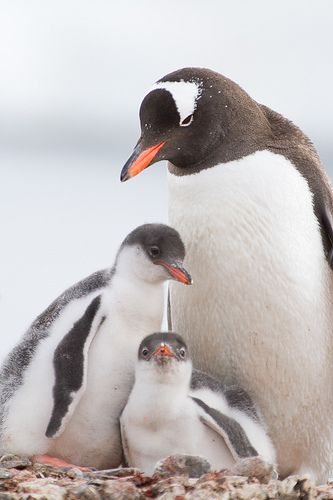 Gentoo Penguin and chicks on nest