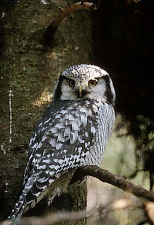 Northern Hawk Owl, from eastern Alaska through to Newfoundland and in some areas extends south into northern United States.