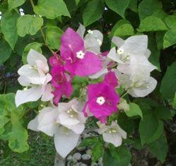 Bunga Bougenville Warna Pink dan Putih dalam Satu Tangkai