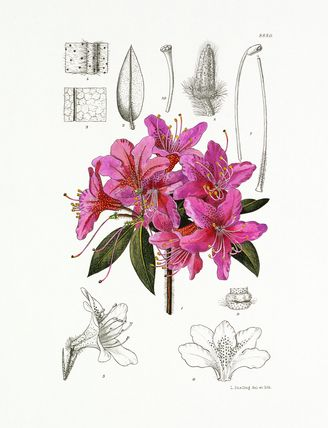Lilian Snelling -- Rhododendron tricanthum -- Rhododendron -- View By Flower -- RHS Prints