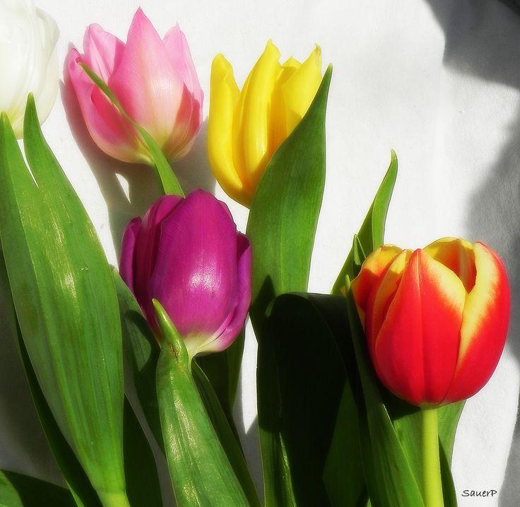 Tuliánok / Tulips