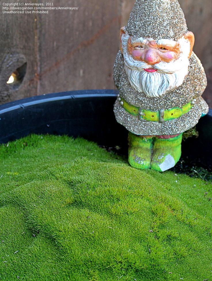 Scleranthus Biflorus or Australian Astroturf. Looks like moss, but it's drought tolerant, can handle sun and heat.