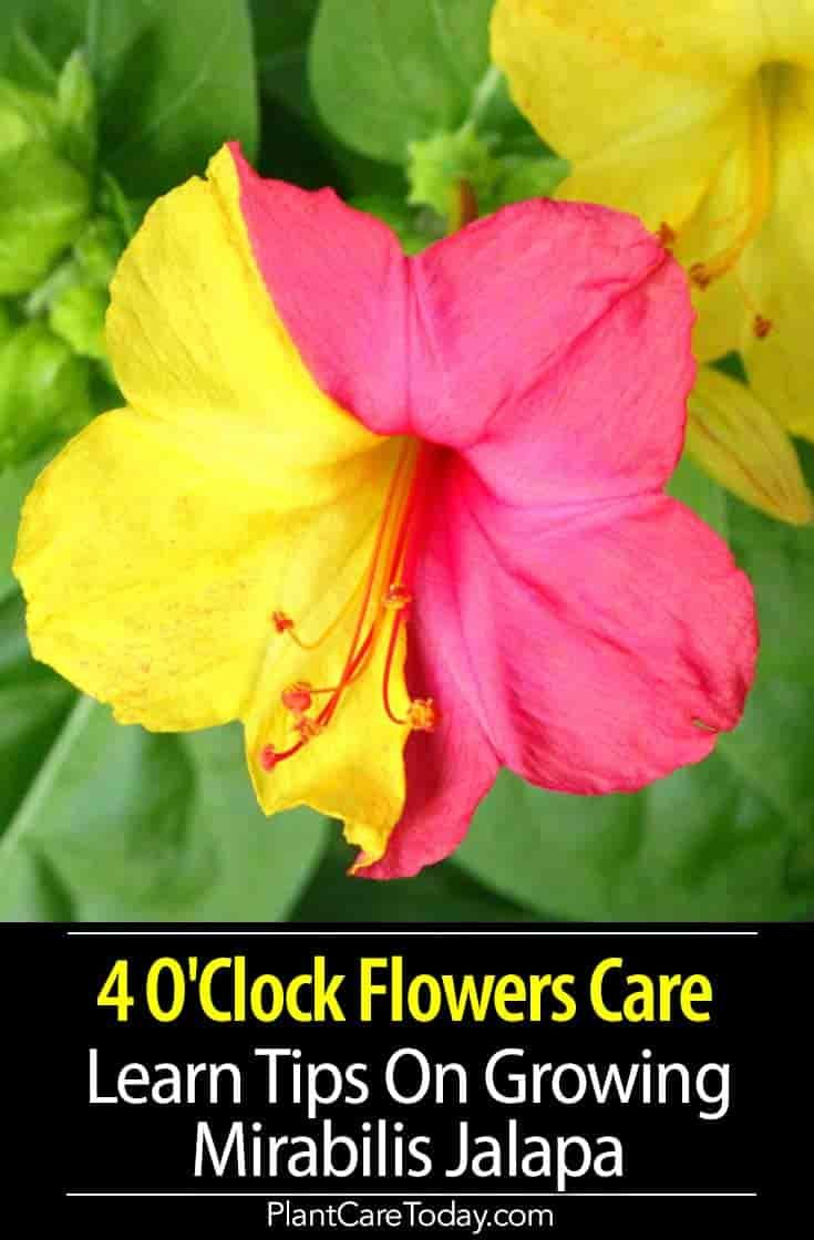 Four O Clock Flowers Mirabilis Jalapa Tender Bushy Fast Growing Perennial Flowering From Early Or Mid Summer To Fall In Clock Flower Planting Flowers Flowers