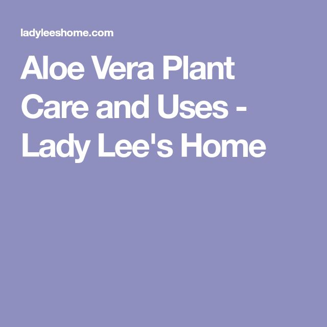 Aloe Vera Plant Care and Uses - Lady Lee's Home