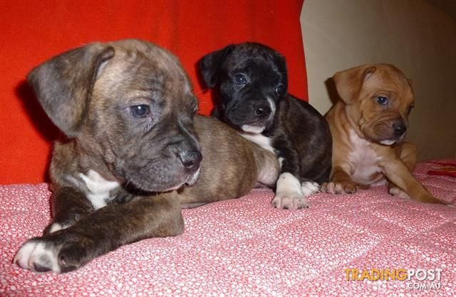 Rhodesian Ridgeback Cross French Bulldog Puppies French Bulldog Cottage Canines Australia Minia In 2020 Bulldog Puppies Bulldog Puppies For Sale Cute Bulldog Puppies