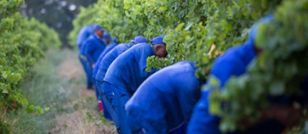 South African harvest report 2013