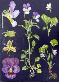 Ebba Masalins botanical paintings <3.