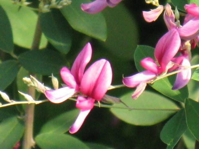 8月15日の誕生日の木は「ミヤギノハギ」です。 漢字で書くと「宮城野萩」。歌枕(和歌にしばしば詠み込まれている名所)の「宮城野の萩」にちなんで命名されました。 ちなみに宮城野とは、今の宮城県仙台市の東方一帯の原野のことで、歌枕に「宮城野の萩」と呼ばれるほど、萩の名所として名高いところでした。また、萩のほか多くの草花が生い茂り、スズムシなどが鳴き、野鳥が生息していたので「生巣原(いけすはら)」とも呼ばれる事もありました。 伊達藩の時代には、この地の一部を一般の狩猟を禁じた野「禁野」として、原野と萩を保護し、「野守」を置いてその任に当たらせたそうです。 ミヤギノハギは、マメ科の落葉低木。8~10月頃に紅紫色をした小さな蝶形の花をたくさんつけます。枝垂れるのが特徴です。 宮城県の県花、そして仙台市宮城野区のシンボルマークのモチーフにも使われています。仙台銘菓「萩の月」の萩がミヤギノハギかどうかは定かではありません。
