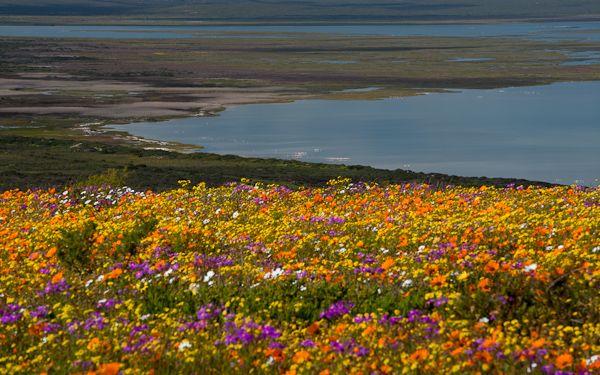 Namaqualand in fiore, il miracolo della primavera australe, West Coast National Park, South Africa