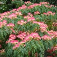 Les Albizias sont des arbres à feuillage caduc très divisé et élégant, et qui offre en été une rose et blanche en pompons soyeux. Découvrez tous les conseils de nos experts pour les cultiver au jardin !