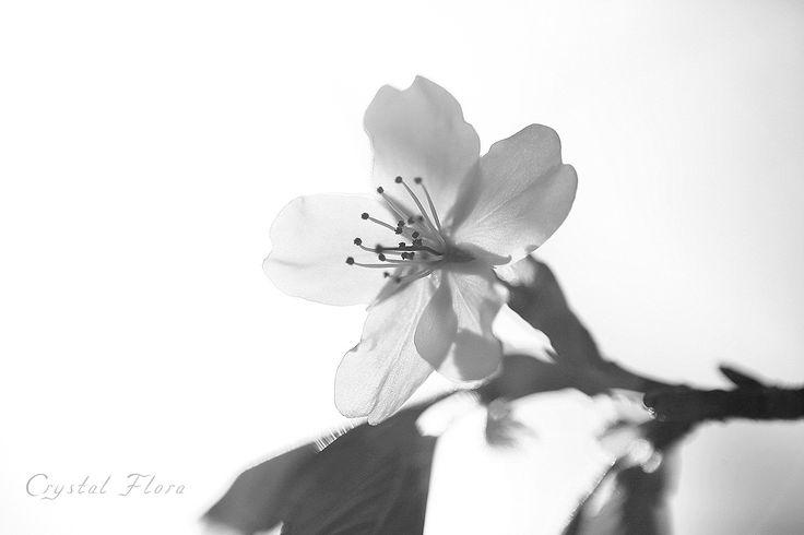 Photo by Crystal Flora. Сакура, ч/б. Sakura, black-and-white photo. Фотография сделана в Ботаническом саду в Москве / The photo was taken at the Botanical Gardens in Moscow