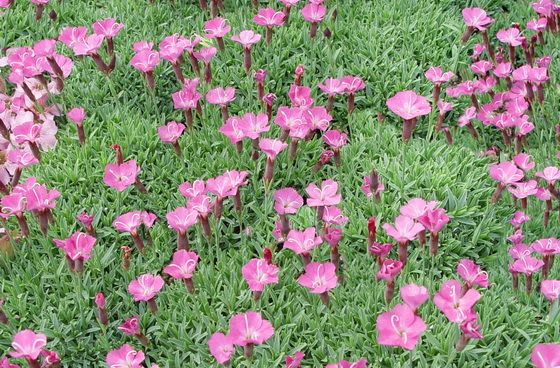 Dianthus Gratianopolit Pee Bloom Time Mid Spring Plant Height 1 2 Ing 6 Gray Foliage Fits Snuggly On The Ground And Pinteres