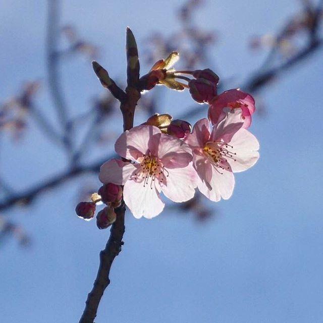 【chocodaisukiyon】さんのInstagramをピンしています。 《* 青空と桜と優しい光✨ * #稲毛海岸駅 #イオンマリンピア店前 #河津桜#桜の花#開花 #青空#青空と桜 #優しい光を浴びて #スケスケ感がたまらない #CherryBlossoms #Kawazucherrytree #bluesky #ミラーレス一眼  #sony#α5000》