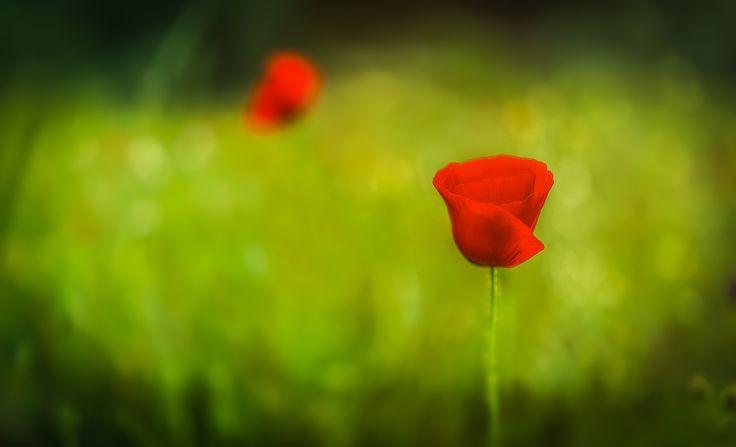 Poppy by Emmanuel Hatas on 500px