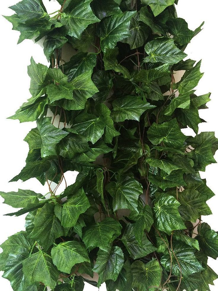 vine plant with 5 leaves