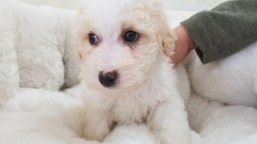 Maltipoo puppy for sale in LA MIRADA, CA. ADN-66976 on PuppyFinder.com Gender: Male. Age: 7 Weeks Old