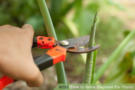 Image titled Grow Elephant Ear Plants Step 14