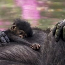A two-week-old baby chimpanzee with her mother at the Guadalajara Zoo (Mexico)