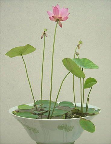 Growing Lotus flowers indoors
