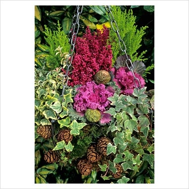 Autumn through to winter hanging basket studded with conifer cones and planted with ivy, ornamental cabbage and kale, Erica gracilis, Euonymus 'Harlequin' and Cupressus 'Goldcrest'