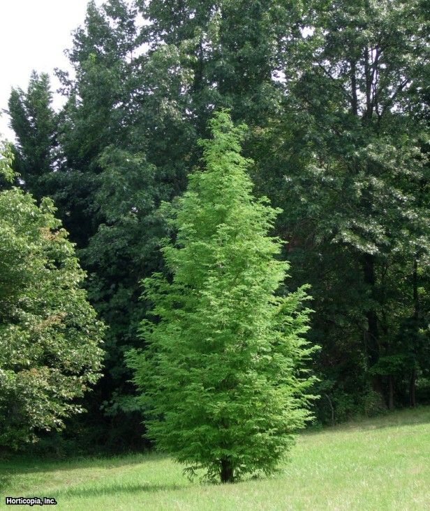 17 best images about trees on pinterest trees hedges for Fast growing drought tolerant trees