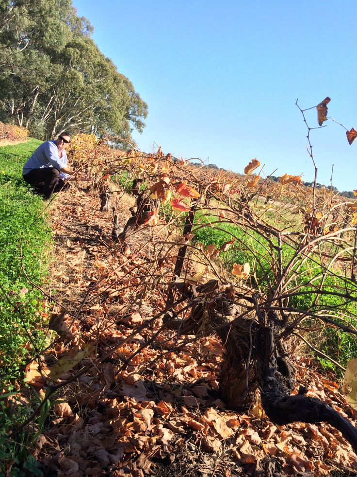 Grenache of 120 years old