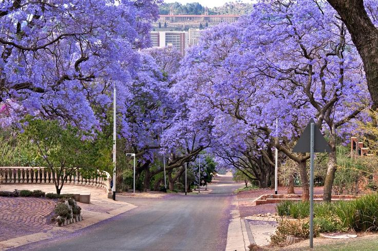 Travel to South Africa and see the stunning Jacaranda Trees in Johannesburg with African Travel Specialists on the Best of South Africa tour...