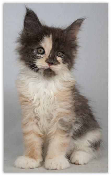 Maine Coon Kitten | Cattery Kattenkoppies | The Netherlands | kittentekoop.nl http://www.mainecoonguide.com/male-vs-female-maine-coons/