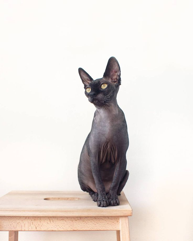 Such a graceful little lady. | Odessa the solid black sphynx cat.