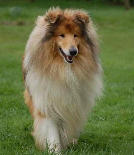 pomeranian sheepdog photo | ... sheepdog, collie rough, deutcher zwergspitz - kennel «Lazurnij Frant