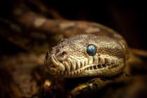Bredls Python Tiere