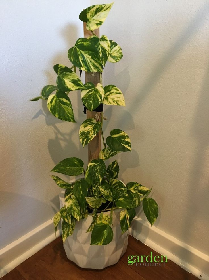 Devils Ivy  Epipremnum aureum  This plant would have to be one of easiest plants to grow indoors or under a tree canopy outside. Great in hanging pots or can look great attached to a pole to grow vertically. For sale at Garden Connect. Caution harmful when eaten by children or animals.