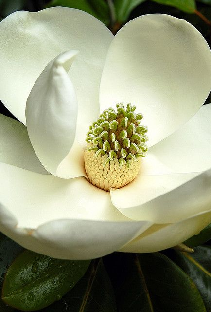 magnolia grandiflora ...southern magnolia ...with huge sweetly fragrant blooms ...like all evergreens it does shed , but ...I love this tree