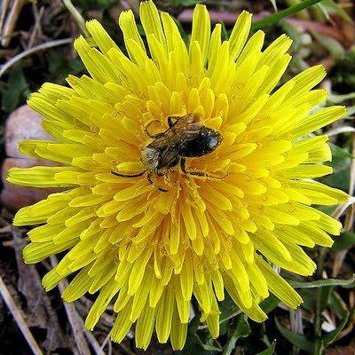 Ταραξάκο: ένα βότανο υπερτροφή! Αγαπήστε το με την καρδιά σας!!