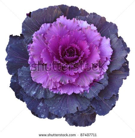 purple lettuce texture