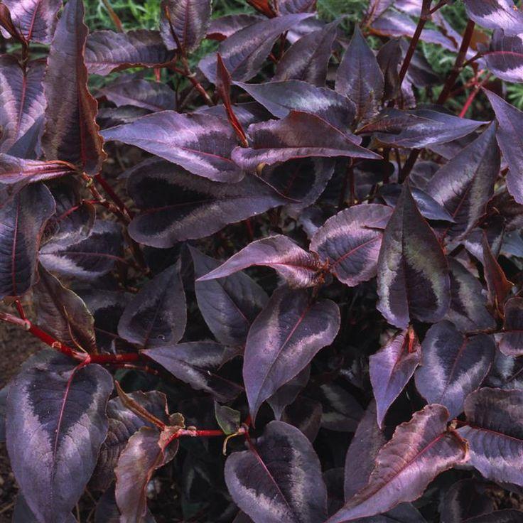 Bildresultat för persicaria red dragon