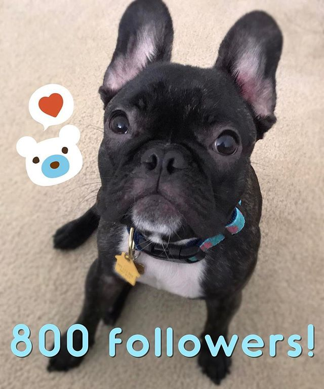 . 800 followers!! Thank you so much my friends!! You all are so special to me!! 💗 . This is also my sweet face 😁 The face I do to get all the things I want 🍪🍭🍦😈 My adorable friend @roxy_the_rescue_dog invited me to play the #sweetfacechallenge I will tag some friends to play with us too!! 😁 . . . #cute #dogsofinstagram #inspiredbypets #pet #dog  #dogs #petstagram #instadog #doglover #dogs_of_instagram #instagramdogs #dogoftheday  #ilovemydog #adorable #mypets #mydog #frenchie…