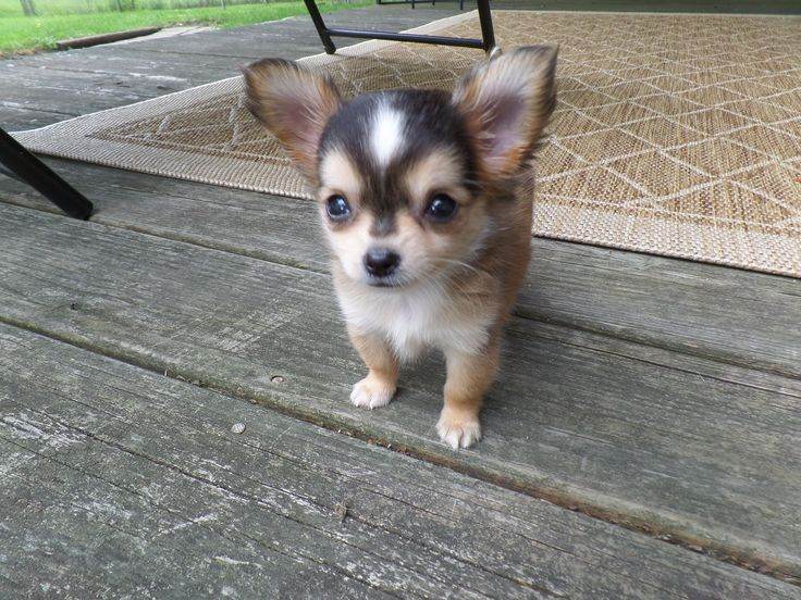Cutest chihuahua ever!  #chihuahua #love #puppy #adorable