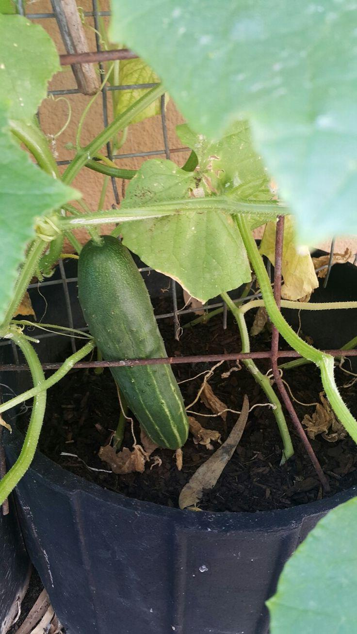 My first cucumbers