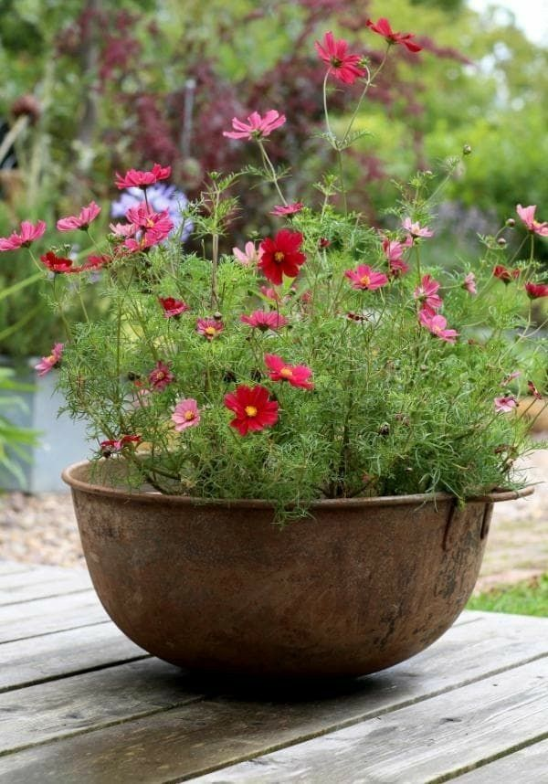 Cosmos Flowers In What Looks Like An Old Copper Bowl Flower Pots Outdoor Small Cottage Garden Ideas Plants