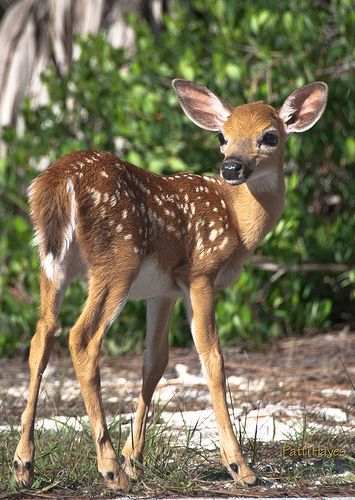 Baby Key Deer at the side of the road foraging on Big Pine Key, Florida - this species of deer is unique to the Florida Keys, related to the white tail deer but much smaller