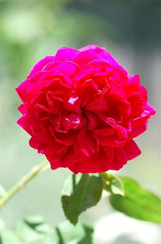 Have you ever tried to grow a rose from cuttings. I have and I've had quite a few successes (see below)! I thought I'd share my method for...