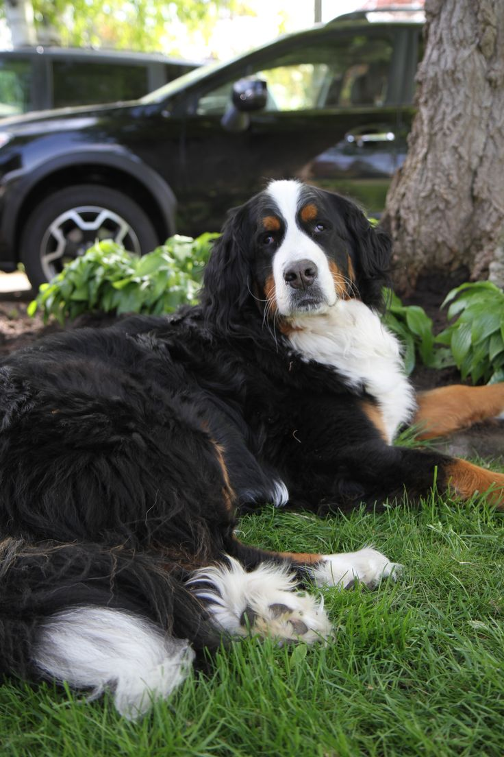 10 images about bernese mountain dog and bailey on pinterest for dogs chubby puppies and pets. Black Bedroom Furniture Sets. Home Design Ideas